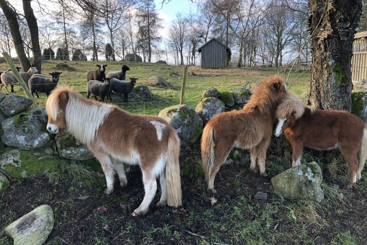 Miniatyrhästar & får